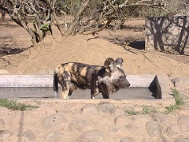An African Wild Dog stood in the drinking trough trying to cool down in the African heat.