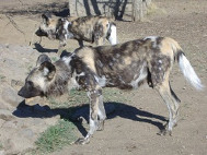 African Wild Dogs are getting rarer in the wild. These are two members of a pack of twelve males at Moholoholo. No females as they didn't want them to breed.
