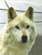 A close up of Orca a white Timber Wolf